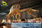 Display hall dinosaurs skeleton replica art toys ( Spinosaurus ) DWS010