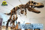 Dinosaur fossil replicas in Museum showroom T-rex DWS015
