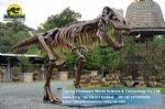 Life size statue dinosaurs skeleton Tyrannosaurus Rex DWS017