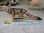 Robot Animal Factory Real size Animatronic Gray Fox DWA151