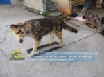High simulation animatronics actual size Mexican wolf DWA152