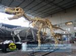 Museum equipment t-rex dinosaur skeleton for sale DWS037