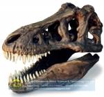 Artificial fossils tyrannosaurus rex skull replica DWF014